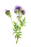 Blue tansy ( phacelia) isolated Royalty Free Stock Image