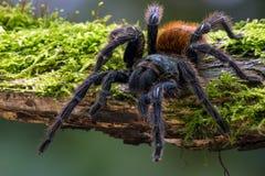 Blue Tarantula (chromatopelma cyaneopubescens) Stock Image