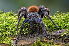 Blue Tarantula (chromatopelma cyaneopubescens) Stock Photography