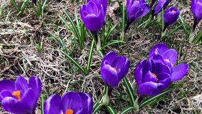 Blue tender delicate pastel spring crocus flowers close up, panoramic view.  stock footage