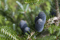 Blue tender fir cones. 5 coniferous black cones (abies koreana siberlocke Royalty Free Stock Photography
