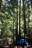 Blue tent in the redwoods Stock Photo
