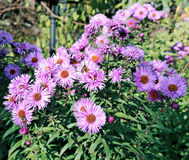 Blue thin flap perennial asters Royalty Free Stock Image