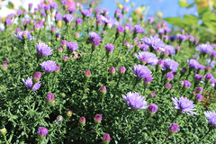 Blue thin flap perennial asters Royalty Free Stock Photo