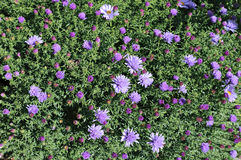 Blue thin flap perennial asters Stock Photo