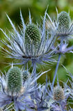 Blue thistle. Thistle, or pastoral 'panicaut', or Holly Sea Royalty Free Stock Images