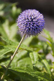Blue thistle Stock Photo