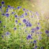 Blue thistle Stock Image