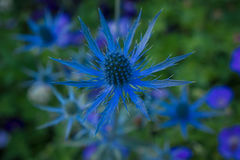 Blue Thistle in sea of greenery. The shapes of the thistle petals look like saber swords as if guarding the nectar. The deep blue is perfect accent against the stock photography