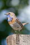 Blue throat Stock Images