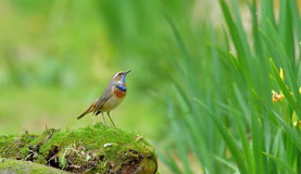 Blue throat Luscinia Stock Photo