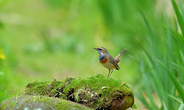 Blue throat Luscinia Royalty Free Stock Image
