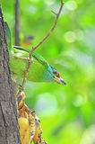 Blue-throated Barbet Royalty Free Stock Photo