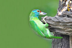 Blue-throated Barbet Royalty Free Stock Images
