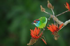 Blue Throated Barbet Royalty Free Stock Images
