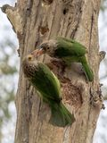 BLUE THROATED BARBET COUPLE ROMANCE ON A TREE Royalty Free Stock Photo