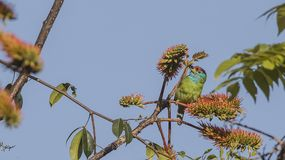 Blue-throated Barbet Eating Seeds. Blue-throated barbet, Megalaima asiatica, is feeding with fruits and seeds on top of tree at Doi Inthanon National Park in Stock Photos
