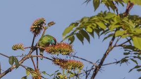 Blue-throated Barbet Eating Seeds. Blue-throated barbet, Megalaima asiatica, is feeding with fruits and seeds on top of tree at Doi Inthanon National Park in Stock Image