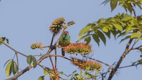 Blue-throated Barbet On Tree Top. Blue-throated barbet, Megalaima asiatica, is feeding with fruits and seeds on top of tree at Doi Inthanon National Park in Royalty Free Stock Images