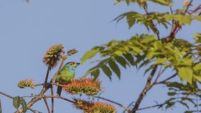 Blue-throated Barbet On Tree Top. Blue-throated barbet, Megalaima asiatica, is feeding with fruits and seeds on top of tree at Doi Inthanon National Park in Stock Image