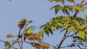 Blue-throated Barbet On Tree Top. Blue-throated barbet, Megalaima asiatica, is feeding with fruits and seeds on top of tree at Doi Inthanon National Park in Stock Photography