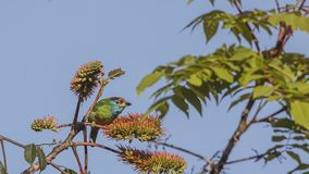 Blue-throated Barbet On Tree Top. Blue-throated barbet, Megalaima asiatica, is feeding with fruits and seeds on top of tree at Doi Inthanon National Park in Royalty Free Stock Photography