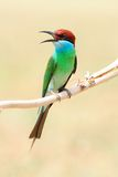 Blue-Throated Bee Eater Stock Images