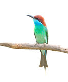 Blue throated Bee eater Stock Image