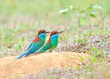 Blue throated Bee eater Royalty Free Stock Photos
