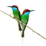 Blue-throated Bee eater Royalty Free Stock Image