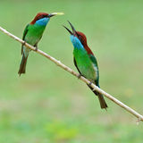 Blue-throated Bee eater Stock Photo