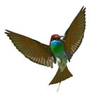 Blue-throated Bee eater Stock Photos