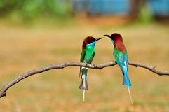Blue throated bee eater (bird). Blue throated Bee eater bird of thailand background Royalty Free Stock Images