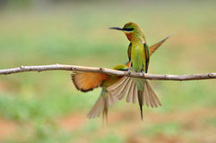 Blue-throated Bee-eater bird Stock Image