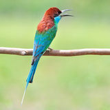 Blue throated Bee eater bird Royalty Free Stock Photo
