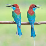Blue throated Bee eater bird Stock Image