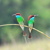 Blue throated Bee eater Stock Photography