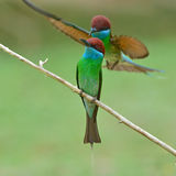 Blue-throated Bee-eater bird Stock Photo