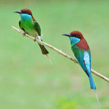 Blue-throated Bee-eater bird Royalty Free Stock Photos