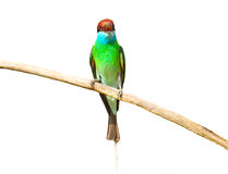 Blue throated Bee eater bird. On white background Stock Photography