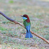 Blue-throated Bee-eater Royalty Free Stock Image