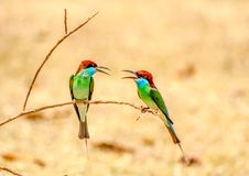 Blue-throated Bee-eater : Merops viridis Royalty Free Stock Photography