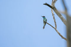 Blue-throated Bee-eater perching on tree branch during summer in Stock Photography
