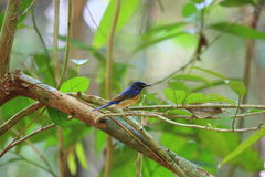 Blue-throated Blue Flycatcher Stock Image