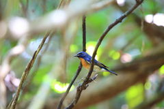 Blue-throated Blue Flycatcher Royalty Free Stock Photography