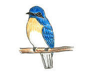 Blue-throated Flycatcher bird drawing. The original drawing of birds on white paper,Blue-throated Flycatcher Stock Images