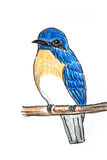 Blue-throated Flycatcher bird drawing. The original drawing of birds on white paper,Blue-throated Flycatcher Stock Photo