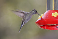 Blue-throated Hummingbird (Lampornis clemenciae) Royalty Free Stock Photo