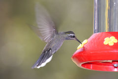 Blue-throated Hummingbird (Lampornis clemenciae) Stock Photography
