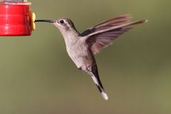 Blue-throated Hummingbird Lampornis clemenciae Stock Photography